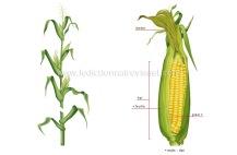 maïs - Le Dictionnaire Visuel